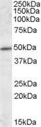 GTX88435 - HIP1-interacting protein