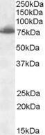 GTX88445 - Delta-like protein 1