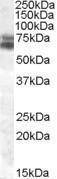 GTX88473 - ARNTL / BMAL1