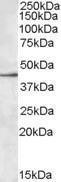 GTX88527 - CD329 / SIGLEC8