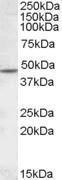 GTX88583 - Neuronal acetylcholine receptor subunit beta-2