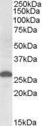 GTX88588 - Apolipoprotein M (Apo M)