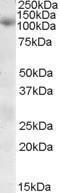 GTX88598 - Sorting nexin-19 (SNX19)