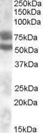 GTX88629 - DACH1