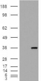 GTX88653 - Monoglyceride lipase
