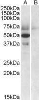 GTX88671 - Apolipoprotein L4 (Apo L4)