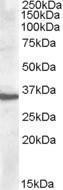 GTX88675 - Apolipoprotein F / Apo F