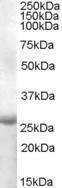 GTX88719 - APOBEC2
