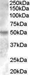 GTX88809 - Estrogen-related receptor gamma