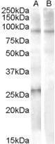GTX88832 - APOBEC2