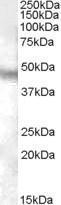 GTX88834 - Neuropeptide FF receptor 1