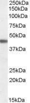 GTX88879 - Beta-3 adrenergic receptor