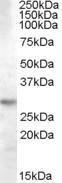 GTX88929 - 14-3-3 protein theta