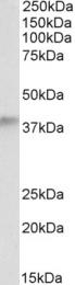 GTX89162 - Alcohol dehydrogenase 5 (ADH5)