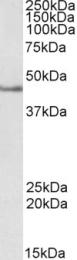 GTX89243 - Septin-1 (SEPT1)