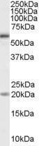 GTX89282 - CD292 / BMPR1A