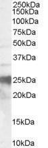 GTX89339 - CD230 / PrP