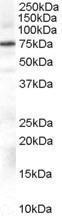 GTX89353 - Beta-ARK-1 / ADRBK1