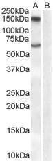 GTX89368 - Amine Oxidase B