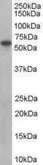 GTX89388 - Sorting nexin-9 (SNX9)