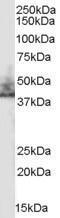 GTX89452 - SLC9A3R2 / NHERF2