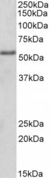 GTX89469 - FOXC1 / FKHL7 / FREAC3