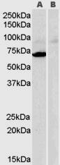 GTX89475 - Amine Oxidase A