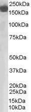 GTX89512 - Complement factor H (CFH)