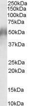GTX89547 - CD2BP2