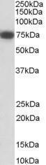 GTX89556 - CD271 / NGFR