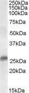 GTX89611 - SRD5A2