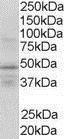 GTX89653 - RXR-gamma / RXRG