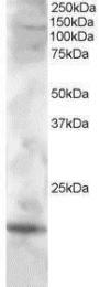 GTX89917 - Cystatin-F