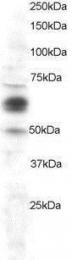 GTX89939 - Cyclooxygenase 1