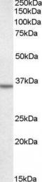 GTX89953 - Annexin A2 / ANXA2
