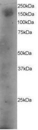 GTX89965 - DOCK1 / DOCK180