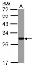 GTX113577 - 14-3-3 protein eta