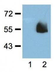 GTX18181 - HA Epitope Tag (YPYDVPDYA)