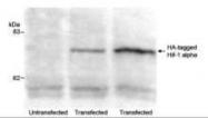 GTX29110 - HA Epitope Tag (YPYDVPDYA)