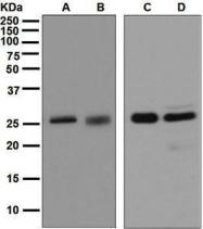 GTX63531 - 14-3-3 protein sigma / SFN