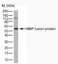 GTX74977 - Maltose Binding Protein Tag / MBP-Tag