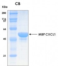 PRO-50006-0025 - CXCL1 / GRO-alpha