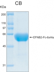 PRO-50008-0050 - Ephrin-B2