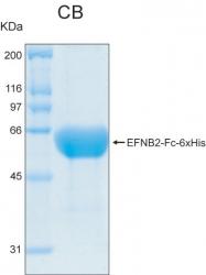 PRO-50008-0010 - Ephrin-B2
