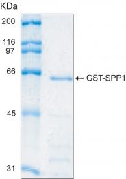 PRO-50019-0100 - Osteopontin / SPP1