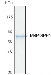 PRO-50020-0100 - Osteopontin / SPP1