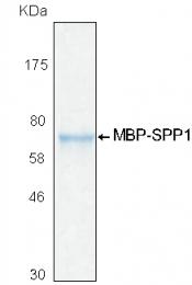 PRO-50020-0020 - Osteopontin / SPP1