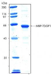 PRO-50022-0025 - TDGF1 / CRIPTO