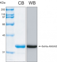 PRO-50032-0025 - Annexin A5 / ANXA5