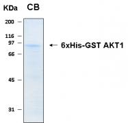 PRO-50033-0100 - AKT1 / PKB